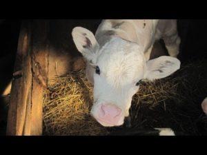 Способы выведения глистов у коров и телят