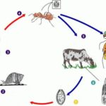 Цикл развития ланцетовидного сосальщика