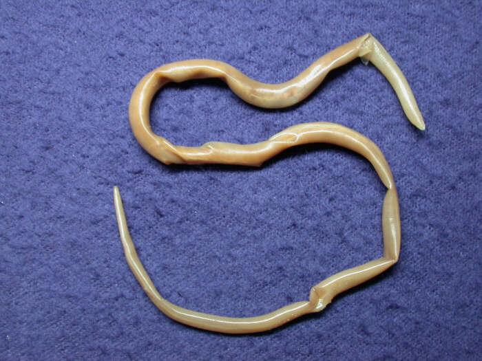 паразит аскарида лечение