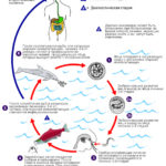 Жизненный цикл анизакид