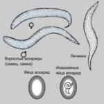Цикл развития аскариди: строение, чем питаются, как дишит