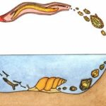 Шистосомоз: симптоми, лечение и фото шистосом (паразитов)