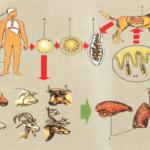 Ехинококкоз головного мозга: симптоми и лечение паразитов