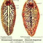 Морфология трематода