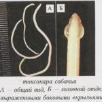 Tocsocara canis: формы существования