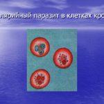 Малярийный паразит в клетках крови.