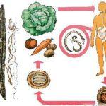 Биогельминти и геогельминти: что ето такое, представители и значение