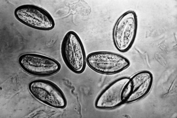 Чем лечить глисты в крови