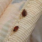 Постельние паразити: фото и види паразитов в постели