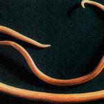 паразиты глисты