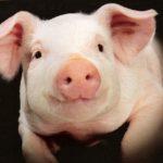Свиная аскарида