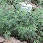 Отвар от паразитов и глистов: полинь, пижма, ромашка и другие трави