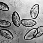 яйца гельминтов под микроскопом