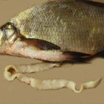 широкий лентец в рыбе