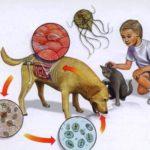 Способы инфицирования цистами
