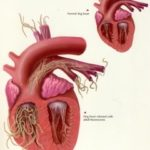 Причины и симптомы дирофиляриоза
