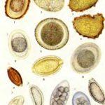 Основные характеристики яиц паразитов