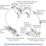Жизненный цикл ланцетовидной двуустки