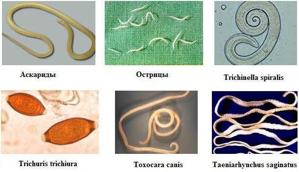 гельминты в желудке человека видео