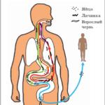 Личинки аскарид: фото, как виглядят в организме человека, пути миграции, етапи развития