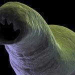 Глисти под микроскопом: как виглядят увеличенние паразити, личинки и яйца глистов, фото