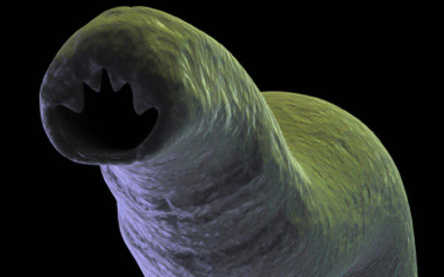 пиявка фото под микроскопом