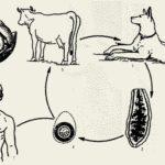 Крисиний цепень: симптоми, лечение, фото ленточного червя в кишечнике