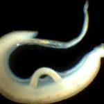 Паразити в дикой утке: види червей в птице, вред для челолвека