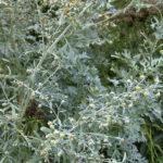 трава против глистов – полынь