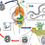 Гельминти у человека: симптоми, лечение и диагностика паразитов в организме