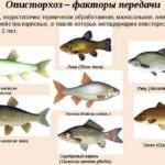 В какой рыбе описторхоз