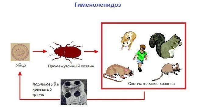 Гименолепидоз анализ